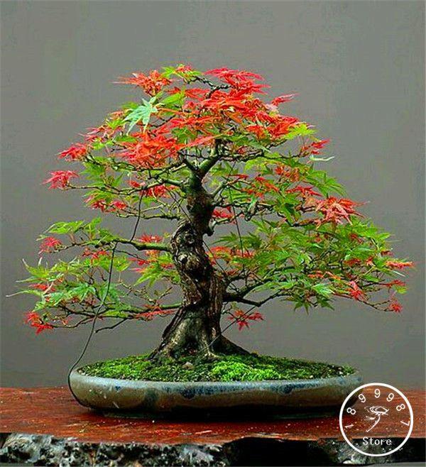 50 canada Mini Red Maple Bonsai Seeds DIY Bonsai Maple Tree Seeds,#WC9TON