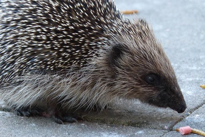 Five Easy Ways to Attract Hedgehogs to your Garden
