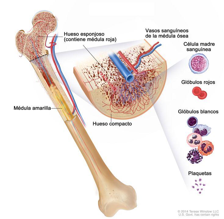 Anatomía del hueso. El hueso se compone de hueso compacto, hueso esponjoso y médula ósea.