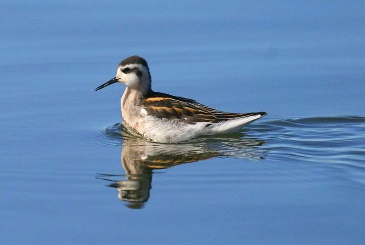 A juvenille Red-necked Phalarope, photographed from a Zodiac in the Beaufort Sea by Manomet's Brad Winn.