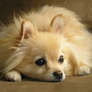 Pomeranians are very intelligent, alert, and curious — some may even call them nosy. Their excitable nature is often accompanied by excessive barking. They prefer the company of adults because they can become overexcited by children.