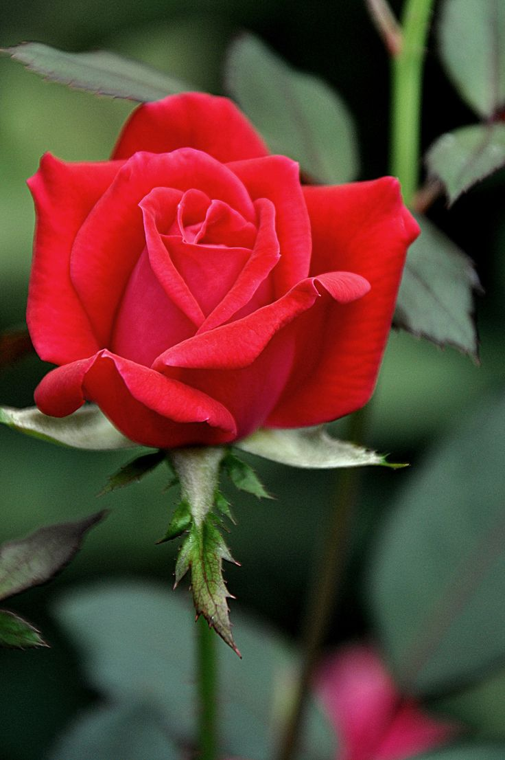 Beautiful Red Rose!