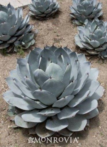 les 105 meilleures images du tableau agave sur pinterest plantes grasses cactus et plantes. Black Bedroom Furniture Sets. Home Design Ideas