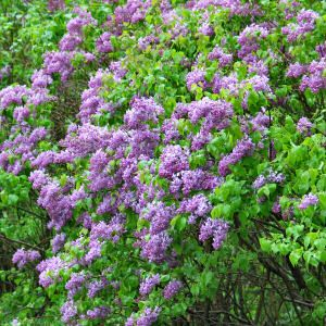 Lilac Bush via New York State Law --- Already have at the northeast corner of the house and it's too big to transplant... What should I plant around it?