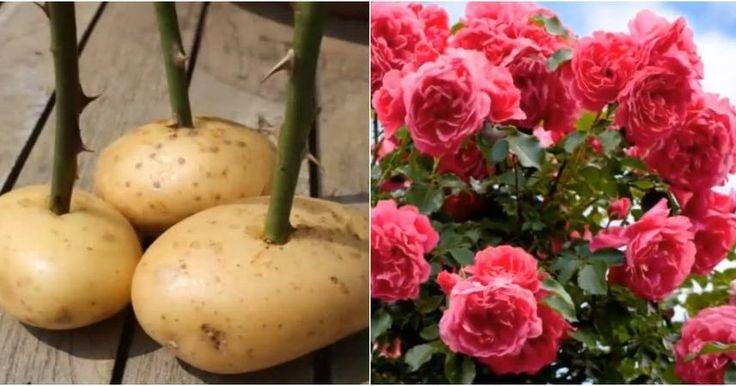 Descubre cómo reproducir rosales por esqueje empleando patatas. Este es el truco más popular de la historia de nuestro canal e incluye consejos para obtener ÉXITO SEGURO.