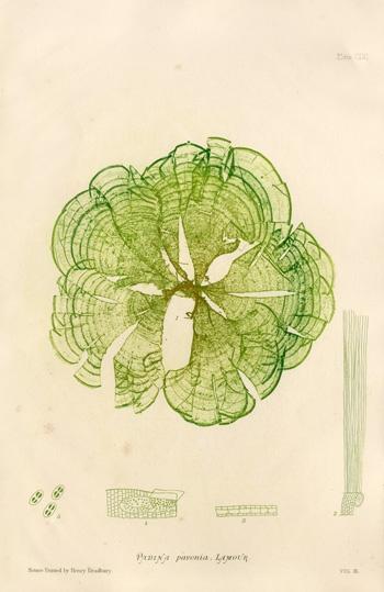 Seaweed Illustration