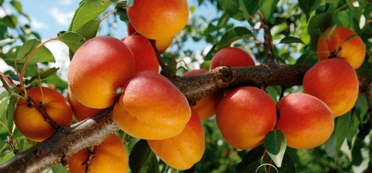 Посадка абрикоса – секреты и тонкости в подробностях