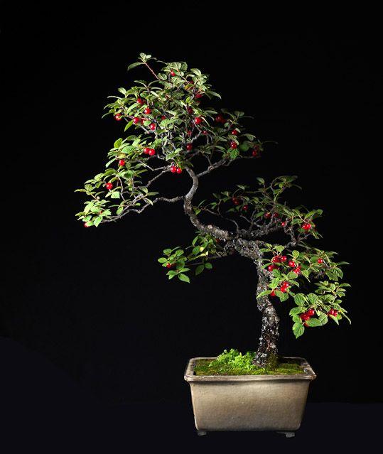 2436 best images about bonsai saikei kokedama on for Dove comprare bonsai