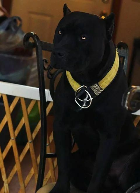 this gorgeous dog looks like a panther