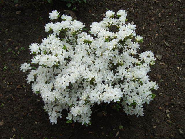 les 25 meilleures id es de la cat gorie arbuste fleur blanche sur pinterest arbuste fleurs. Black Bedroom Furniture Sets. Home Design Ideas