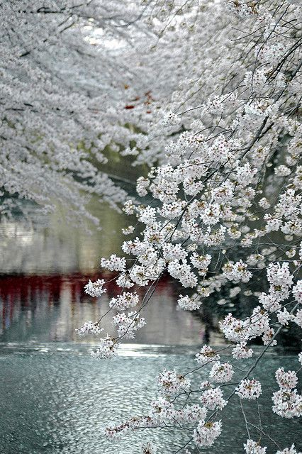 white blossoms...
