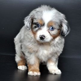 Australian Shepard babbyyy  --- This is sort of like what our Aussie looked like when he was a puppy -- cutest, best dog in the world!