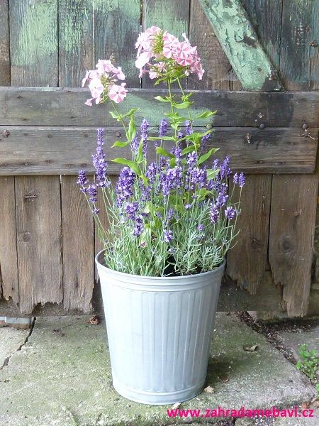 Phlox and lavender in pot