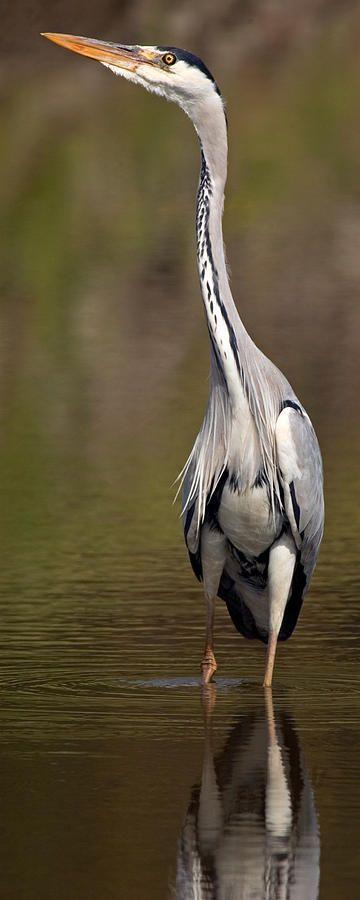 Side Profile Of A Grey Heron Ardea