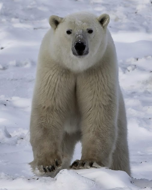 Polar Bears International - Google+