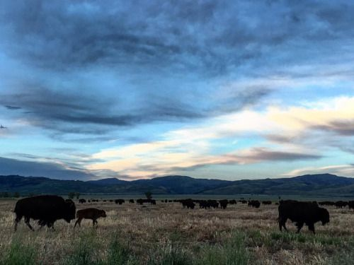 A herd of about 200 bison at the Grand Teton National Park...