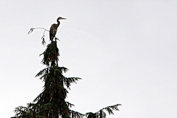 2011 Blue Heron on a tree top North Vancouver, BC