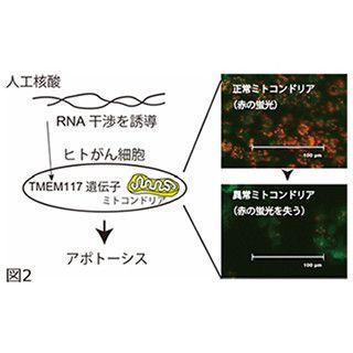 東京工科大、がん細胞にアポトーシスを誘導する人工核酸を発見