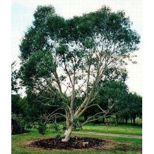 """Résultat de recherche d'images pour """"Eucalyptus des neiges (Eucalyptus niphophila)"""""""