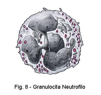 Le cellule del sangue - dettagliato e comprensibile, anche un esempio per la preparazione di un vetrino per microscopio : )