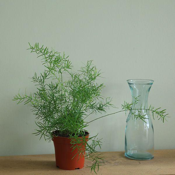 Buy emerald fern Asparagus densiflorus 'Sprengeri Group': Delivery by Crocus