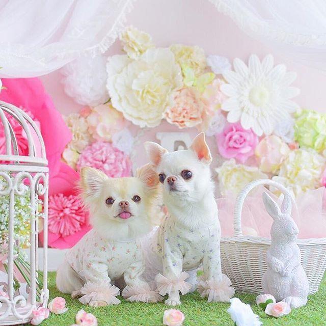PetitChienのモデル、マメペロちゃんがとっても可愛くお洋服を着てくれました☺︎ ・ ・ 春のお出かけにぴったりですね♡ ・ ・ ※ハンドメイド商品の発送は約1ヶ月〜1ヶ月半お時間を頂きます※ ・ ・ ※ネットショップはトップから飛べます。 ・ ・ LINE公式アカウント 【ID】@hpp0817h 直接販売やクーポンなど配信中♡ ・ ・ ・ #犬服#犬服ハンドメイド#蝶ネクタイ#チワワ#迷子札#犬バカ部#トイプードル#トイプー#ダックスフンド#ミニチュアダックス#ポメラニアン#パピヨン#愛犬#愛犬家#今日のわんこ#いぬら部#わんこなしでは生きて行けません会#モデル犬#イケワン#クールバンダナ#麦わら帽子#マナーポーチ#マナーベルト#ハンドメイド犬服#殺処分ゼロ#チャリティーTシャツ#犬用マフラー#カフェマット ⚠️petitchien完全オリジナルデザインです。デザインの模造、模造品の販売はご遠慮下さい⚠️