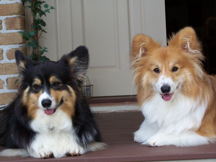 Our long-haired corgis, Diana and William!!!