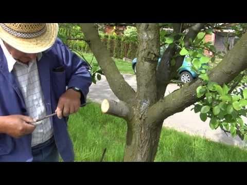 Roubování dřevin - YouTube
