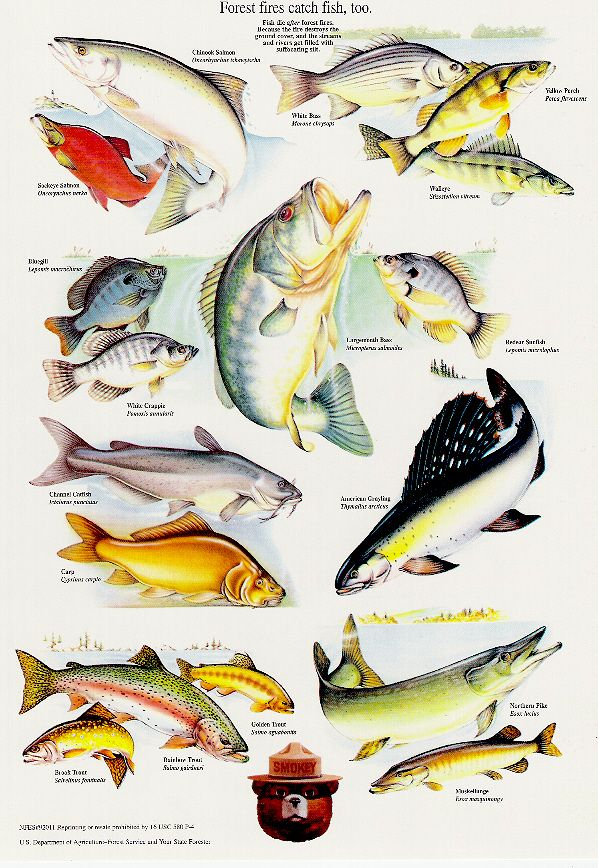 A Collection Of Smokey Bear's Best Nature Posters: Smokey Bear's Fish Poster