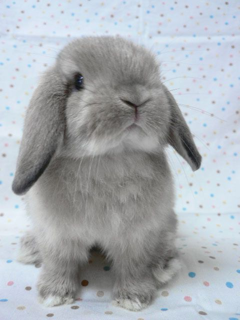 holland lop bunny. via: Sweet Tart Tessa