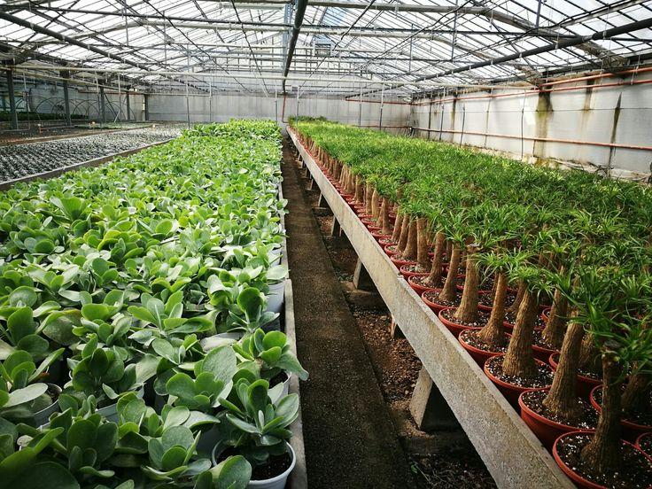 Kalanchoe e beucarnea Paganopiante in produzione
