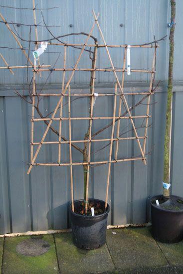 Diverse fruit-leibomen (leifruit) en fruit-vormbomen (vormfruit) - Fruitbomen Info - Fruitbomen.net Mobiel