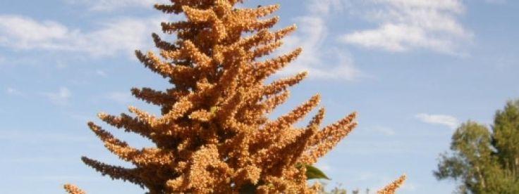 L'amarante 'Golden Giant'produit d'abondantes graines comestibles dont la valeur nutritive élevée surpasse celles de la plupart des céréales. Les graines sont récoltées à partir de septembre. Elles s'utilisent éclatées, comme les grains de maïs; en gruau; en farine, pour la confection de gâteaux ou de muffins; ou telles quelles, comme les graines de pavot. Cette plante se resème et pousse rapidement une fois établie.