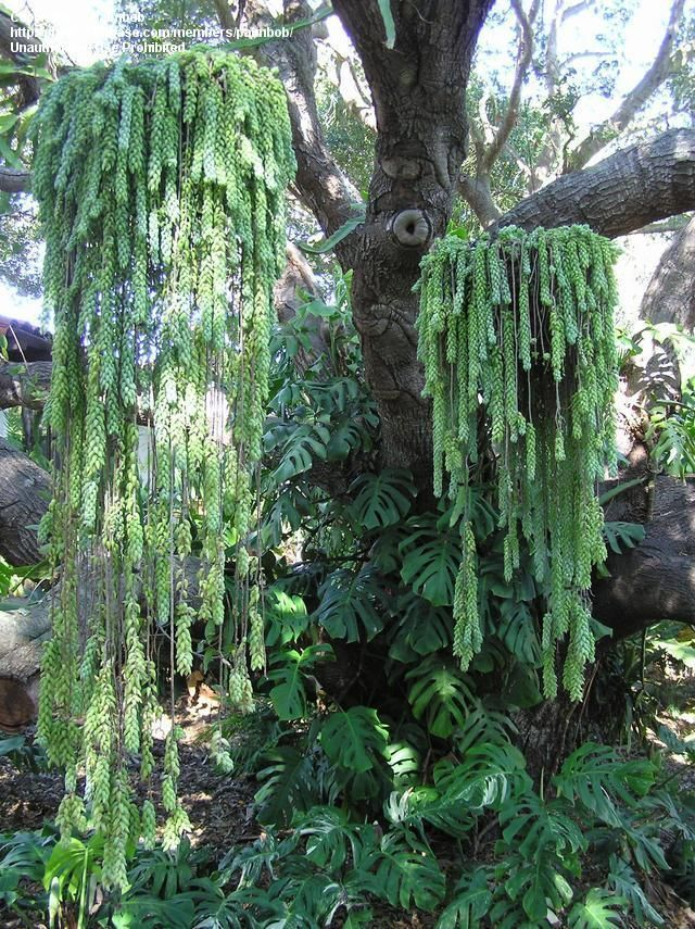 Donkey Tail Succulents | ... : Picture #7 of Giant Burro's Tail, Donkey's Tail (Sedum morganianum