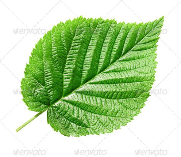 Green leaf. (beauty, botany, clean, close, closeup, color, colorful, construction, design, detail, edge, element, environment, foliage, fresh, garden, green, grow, growth, healthy, isolated, leaf, leave, leaves, life, light, line, macro, natural, nature, object, one, organic, path, plant, season, seasonal, shape, simple, single, spring, texture, textured, tree, up, vein, white, young)