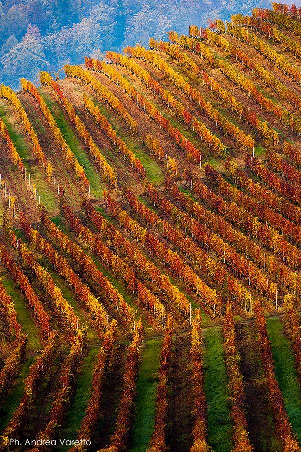 Fall colors in the vines of Monferrato hills (Asti, Piedmont, Italy)