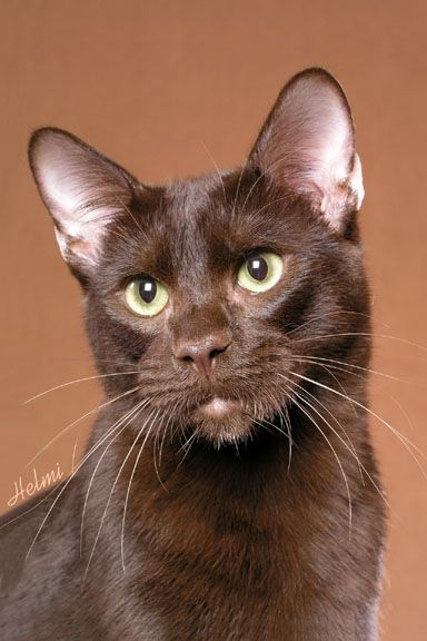 havanna brown cat.   Must have.. *cough* mom