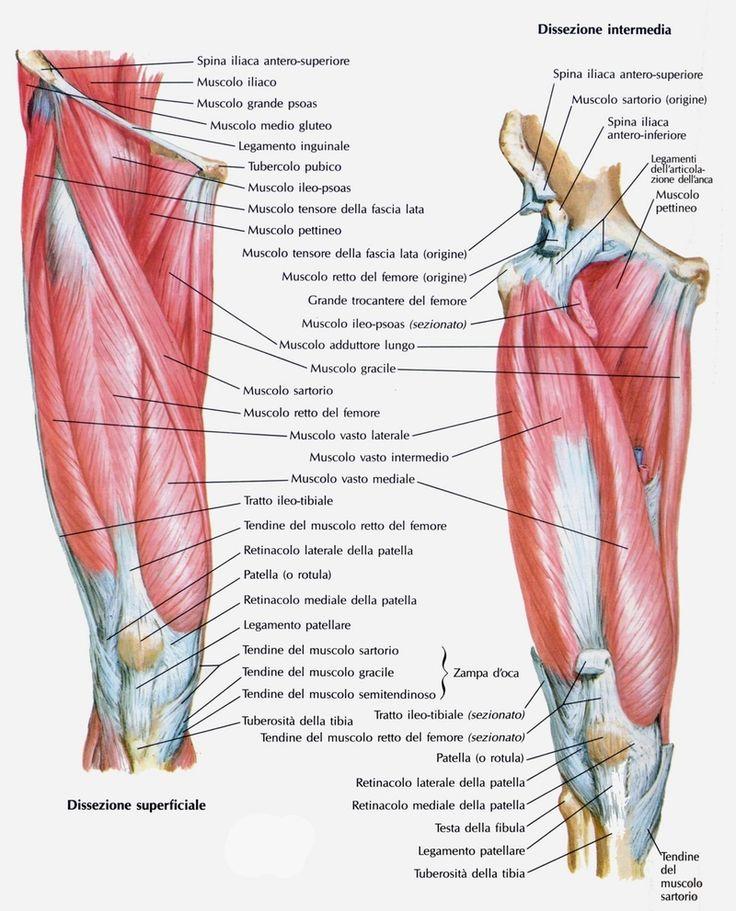 Per comprendere ed eseguire correttamente gli esercizida fare per tonificare i muscoli della coscia,risulta fondamentale conoscerli.    Per prima cosa è importante sottolineare che la coscia è la parte compresa tra la pelvi e il ginocchio, ovvero (...)