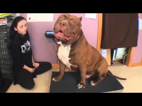 Best Hulk The Pit Bull Images On Pinterest - The worlds biggest pit bull just became a dad wait until you see his puppies