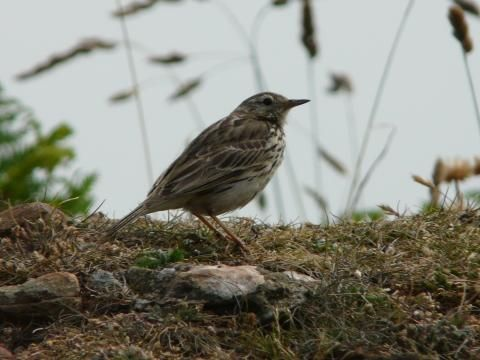 Meadow Pipit: naming rights | Nature Notes from Dorset