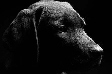 Fototapeta Zvieratá - Čierny labrador 3164 | Tapety zvierat | DECOTREND