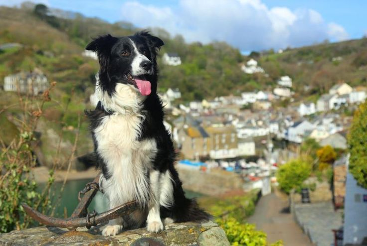 Gareth Evans would like you to meet 'Jones', a seven year old border collie from the small fishing village of Polperro in Cornwall.  If he looks familiar, it may be because you have seen his images before on various dog related products, websites, calendars, posters and greetings cards, as Jones is