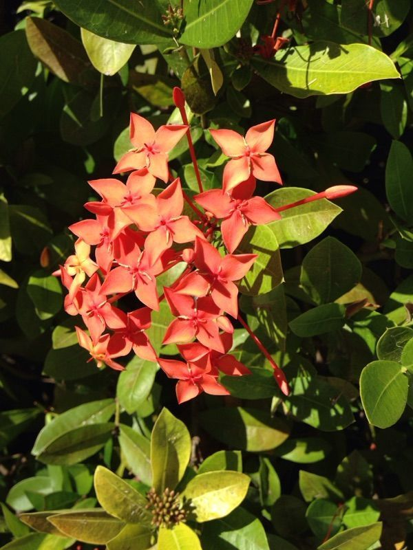 Ixora Ixora Coccinea This Flowering Shrub Is Native To South India And Sri La Flowering Shrubs Landscaping Plants Plants
