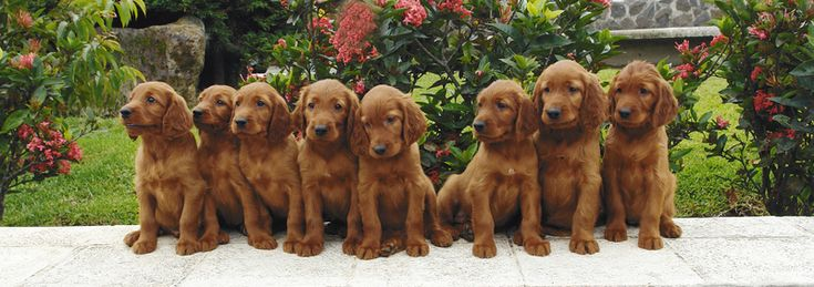 Irish Setters puppies - only thing they have going for them is they are very adorable as puppies