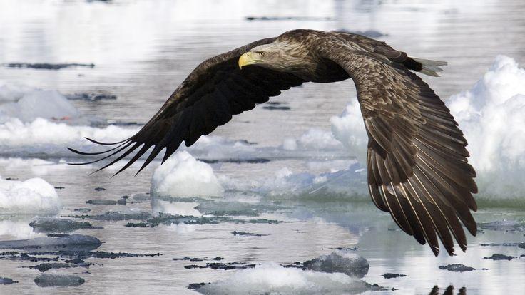 Скачать обои птица, орел, крылья, полет, вода, льды, раздел животные в разрешении 1920x1080
