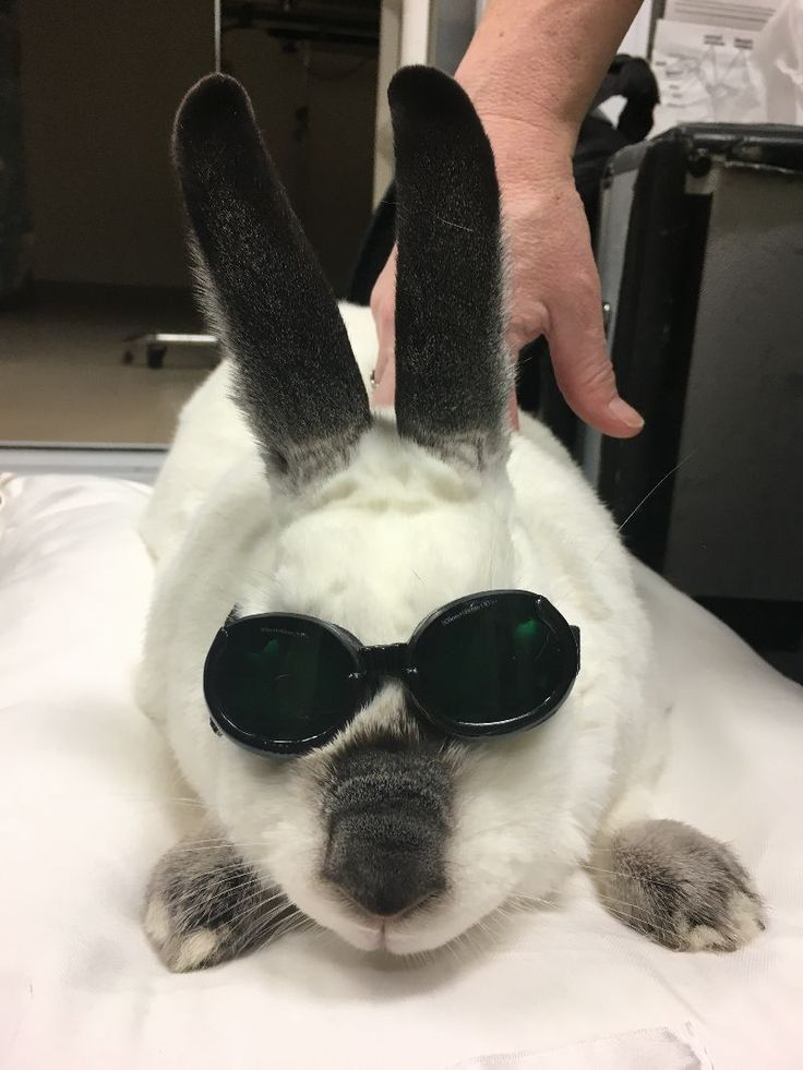 Hello from Blackjack! Blackjack came in to see Dr. Somjen for back pain. Here is Blackjack looking cool wearing the goggles to protect her eyes during the laser treatment! Laser treatments increase circulation, thereby drawing water, oxygen and nutrients to the affected area for enhanced healing. Pets experience reduced inflammation, swelling, muscle spasms, stiffness and pain