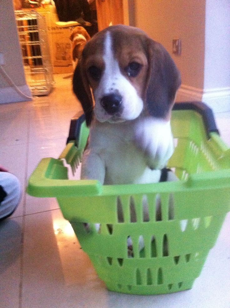 Beagle basket case Ovie