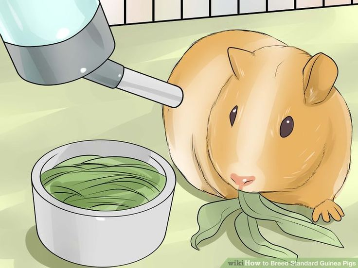 How to Breed Standard Guinea Pigs (with Pictures) - wikiHow