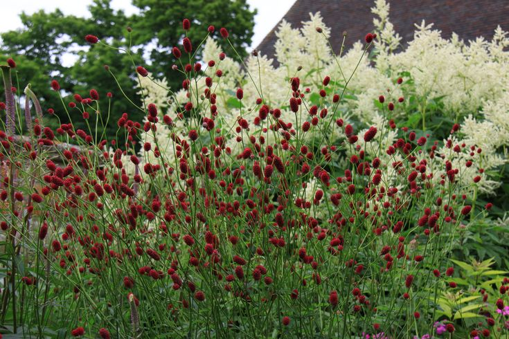 Sanguisorba officinalis 'Tanna' - Komposition