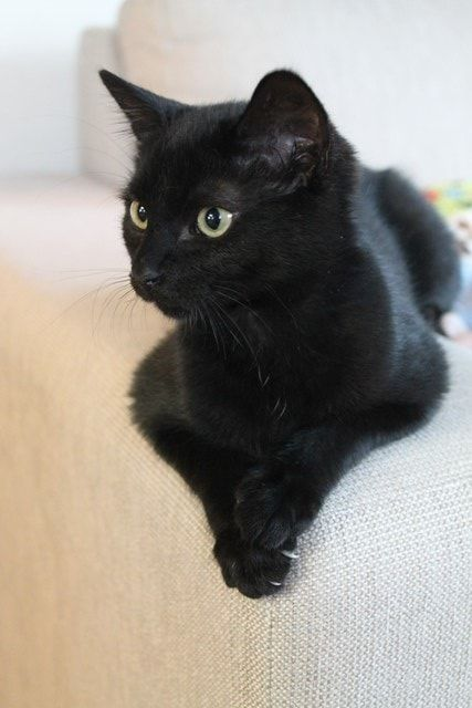 Beautiful Black Cat Click to read her story. #cats #blackcats #lovecats #funnycats